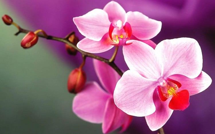 Mo thay hoa lan