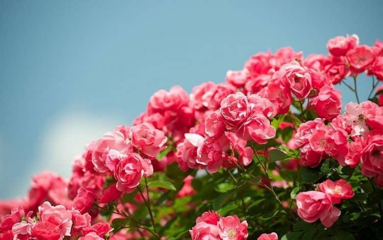 Mo thay hoa hong